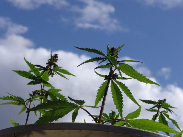 Plantatorzy marihuany wpadli przez śnieg