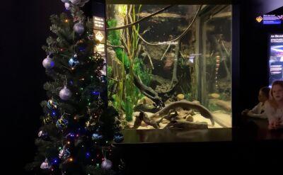 Węgorz elektryczny zasilający lampki na bożonarodzeniowym drzewku