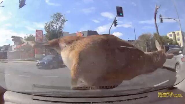 Jeleń w centrum miasta zderzył się z autem nauki jazdy. Obława na niego trwała 12 godzin