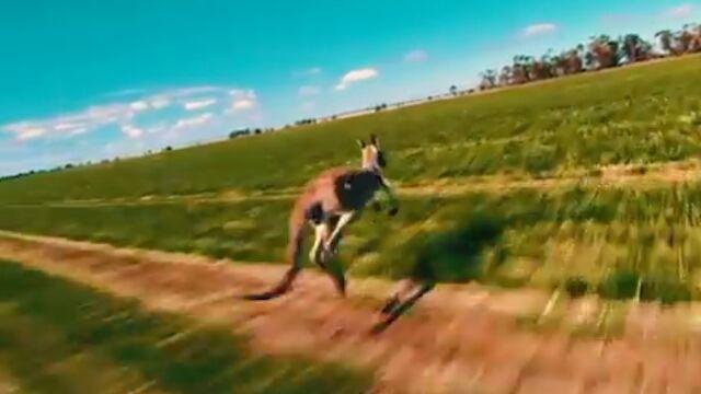 Nagrał dronem pędzącego kangura