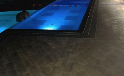 Niedźwiedź pływał w basenie w bułgarskim Sopocie