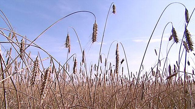 Minister: Polska wolna od GMO od 28 stycznia