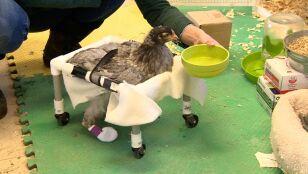 Kura z drugim życiem czy hrabia z kubłem na głowie?