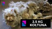 2,5 kg kołtuna