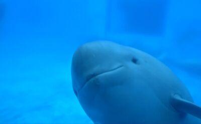 Morświnki bezpłetwe w basenie