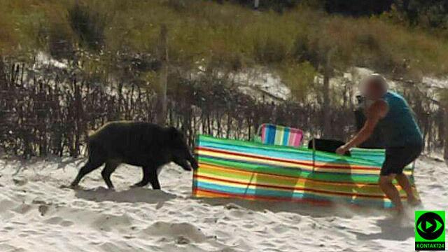 Dzik na plaży w Karwi