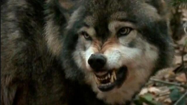 Wyją dla wilków i dla dobra nauki