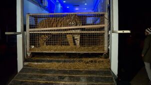 Wiózł tygrysy z Włoch do Rosji. Sąd uchylił areszt dla organizatora transportu