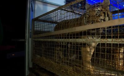 """Tygrysy z granicy dotarły do zoo w Poznaniu. """"Są odwodnione"""""""