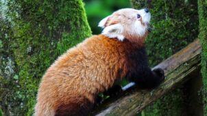 Pandka ruda uciekinierka. Z zoo do podmiejskiego ogródka