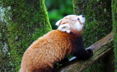 Pandka ruda Amber mieszka w zoo od czerwca 2018 roku