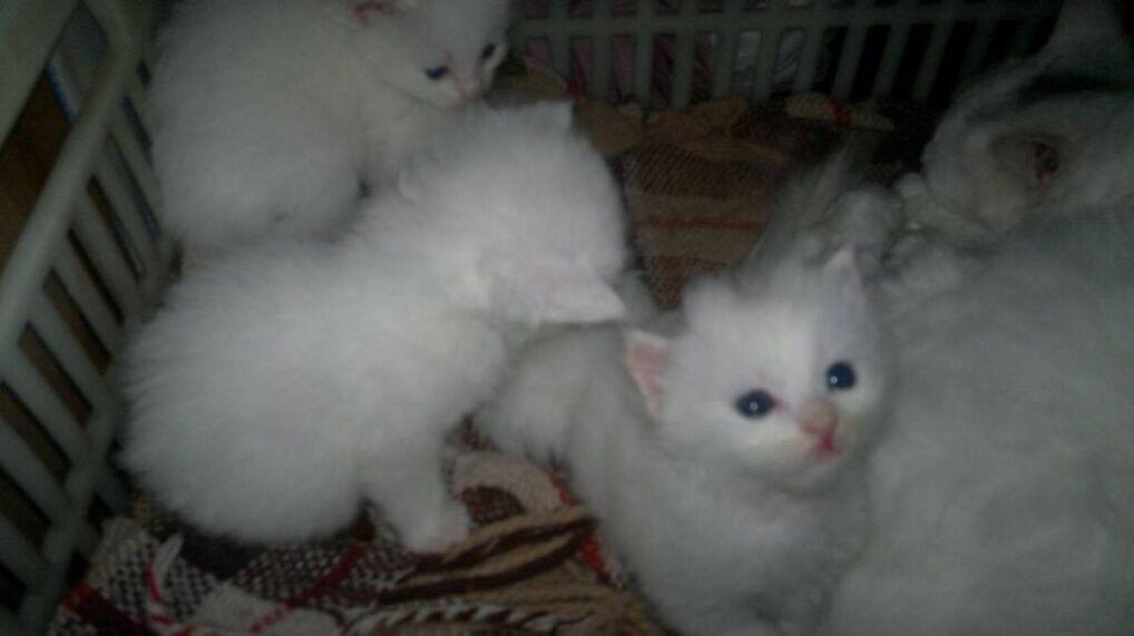 Kunkush z rodzeństwem jako kociak