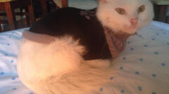 Weterynarz ogolił brudne futerko kota, dlatego dostał sweterek