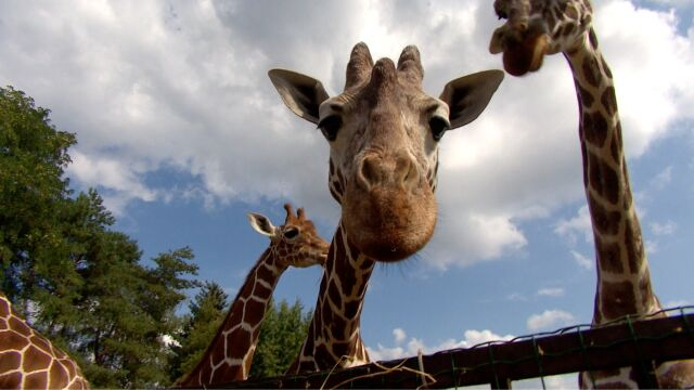 Handel żyrafami pod kontrolą