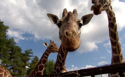 W Genewie zdecydowano o wprowadzeniu kontroli nad handlem żyrafami