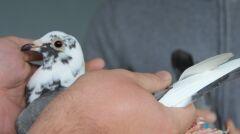 Gołębie pocztowe oceniane są na podstawie wielu parametrów