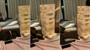 Szczeniak wyjmuje klocek z drewnianej wieży. Nagranie, które pokochali internauci