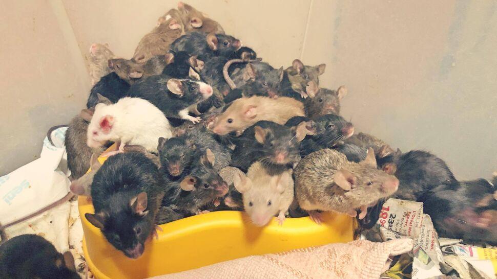 """Hodowla wymknęła się spod kontroli, dom opanowały setki myszy. """"Wychodziły ze ścian, spadały z sufitu"""""""