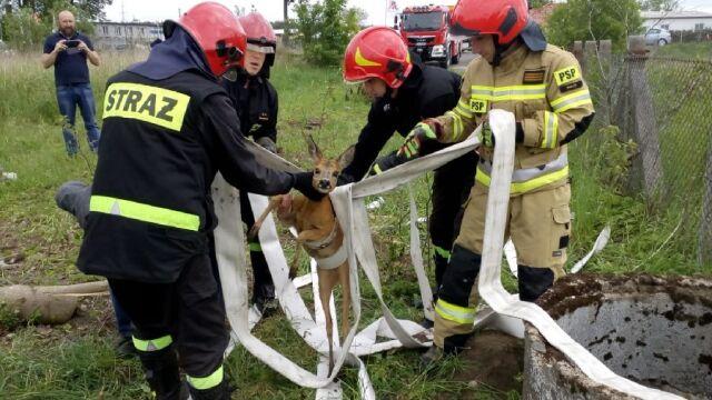 Wyciągnęli sarenkę ze studni. Akcja strażaków