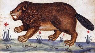 Syrena wśród wiewiórek, czyli legenda o samokastrującym się bobrze