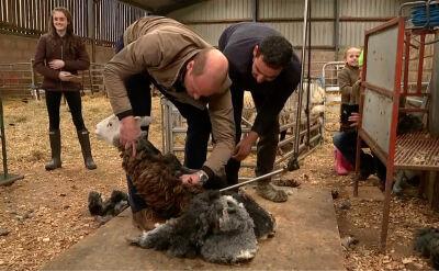 Książęce strzyżenie owiec. Kate i William chwycili za golarkę