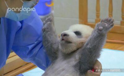 Panda do adopcji
