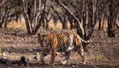 Szukają tygrysa w stanie Maharasztra w Indiach