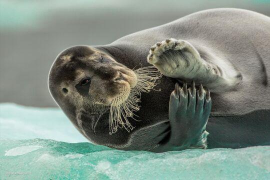 'Flirting Bearded Seal' Audun Rikardsen, Norwegia