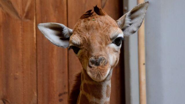 W Poznaniu urodziła się żyrafa. Zobacz, jak stawia pierwsze kroki