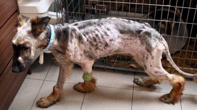 Pies ważył o połowę mniej niż powinien. Policja szuka oprawcy