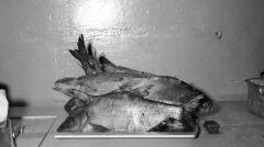 Karpie w sklepie rybnym. Potraw z karpia nie mogło zabraknąć na wigilijnym stole