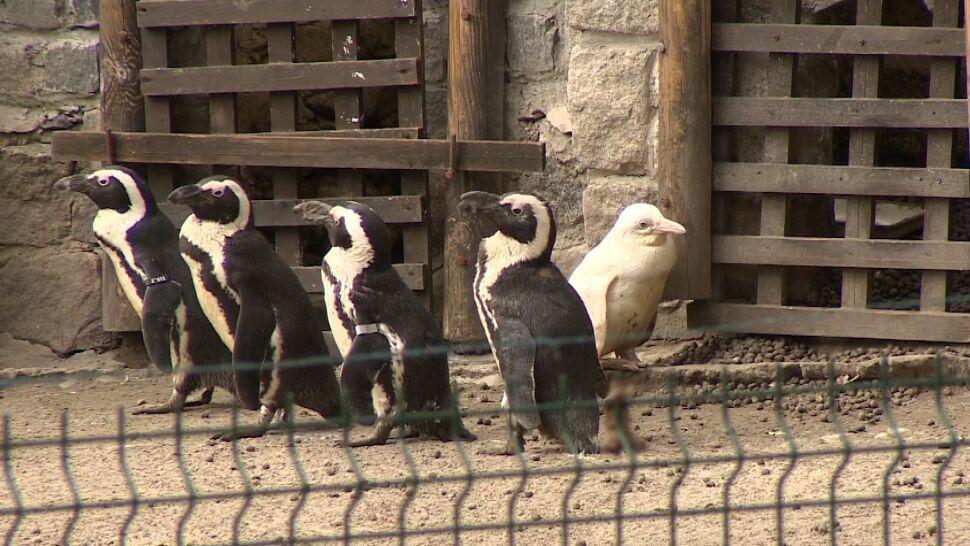 """""""Jedyny taki pingwin na świecie"""""""