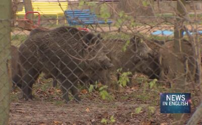 Poland. Playground invaded by a sounder of wild boars