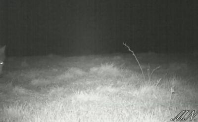 Niedźwiedź z wilkiem w Bieszczadach