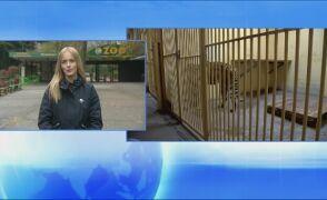 Poprawia się stan tygrysów przywiezionych do poznańskiego zoo