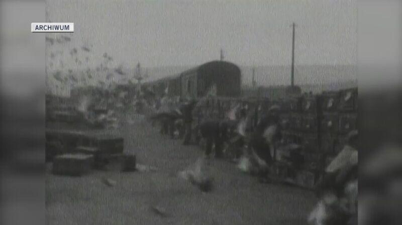 Wyścig gołębi pocztowych w Anglii, czerwiec 1928 roku