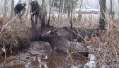 Samica łosia wpadła w bagno. Uratowali ją leśnicy