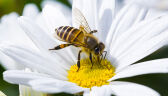 08.08.2017 | Nazwa zabawna, ale problem poważny. Wielki Dzień Pszczoły