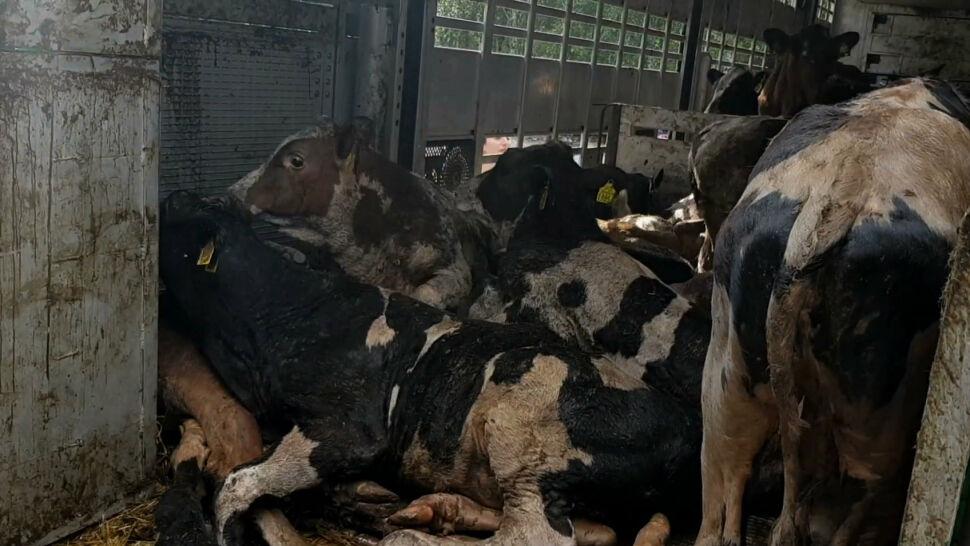 """""""Przerażające"""" warunki transportu krów. """"Znaleziono trzy martwe zwierzęta"""""""