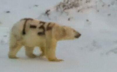 """Ktoś namalował napis """"T-34"""" na niedźwiedziu polarnym w Rosji"""