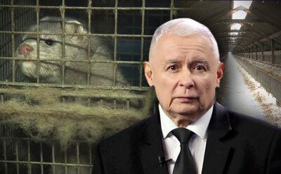 """Prezes PiS za zakazem hodowli zwierząt futerkowych. """"To jest tragedia"""""""