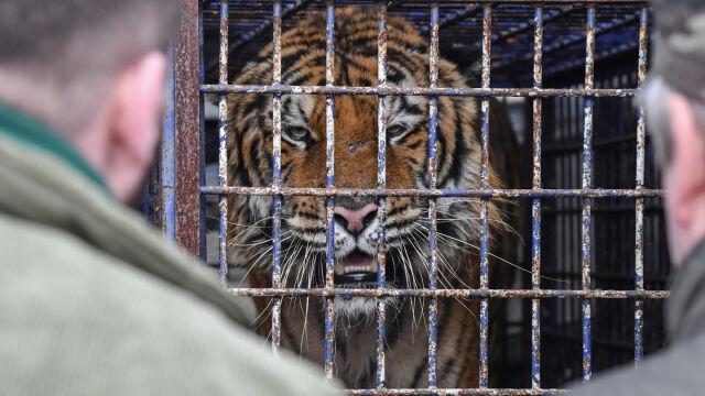 Minizoo w Człuchowie przyjęło dwa tygrysy, które miały jechać do Rosji