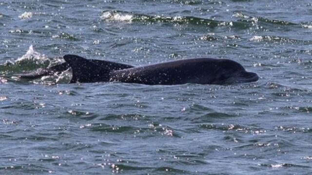 21.08 | Delfiny butlonose w Bałtyku zaobserwowane po ponad 100 latach