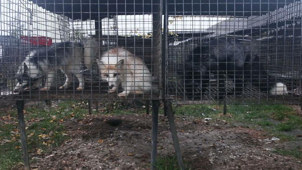 Właścicielka hodowli pod Krotoszynem usłyszała zarzut. Grozi jej 5 lat więzienia