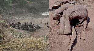 Pod ciałem martwego słonia znaleziono krokodyla