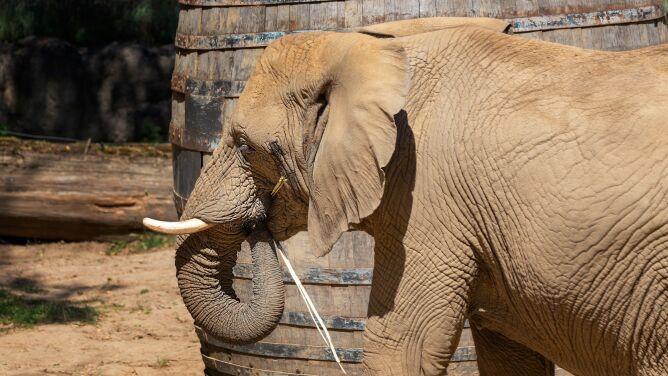 Słoń uderzył opiekuna trąbą, mężczyzna upadł na ogrodzenie. Nie żyje