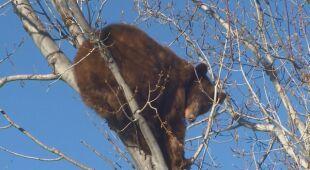 Niedźwiadek nie chciał zejść z drzewa