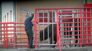 Krowy rażone prądem w głowę. Drastyczne nagrania z ubojni