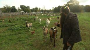 Martwe kozy na wyspie. Kim jest właściciel stada?